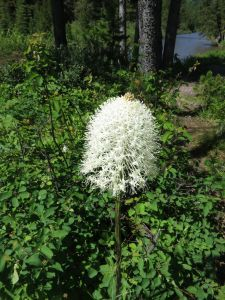 Bear Grass is everywhere in the park right now