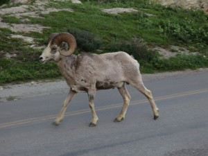 "Most of the animals we saw were in ""civilized"" sections of the park.  This Bighorn Sheep was in the hotel driveway."
