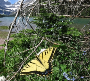 forget-me-nots_swallowtail_Lake-Josephine_and_Grinnell_Glacier