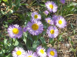 Blog-purpledaisies