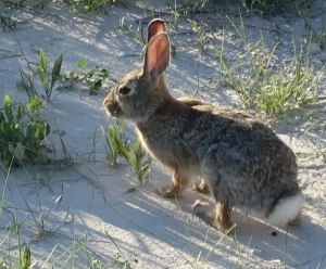 We thought a Badlands rabbit looked different from an eastern rabbit.
