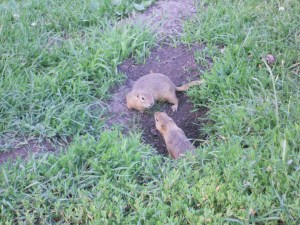 We have learned that prairie dogs are actually a kind of ground squirrel.  I sat outside the trailer for about half an hour and just shot away as they poked out of tiny holes in the ground.