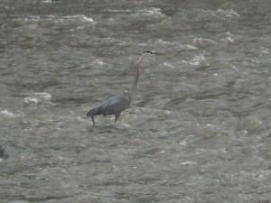 Heron at the Falls