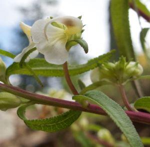 Sickletop lousewort