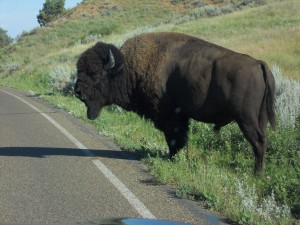 Buffalo were everywhere -- alone and in herds.