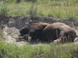 Buffalo wallow