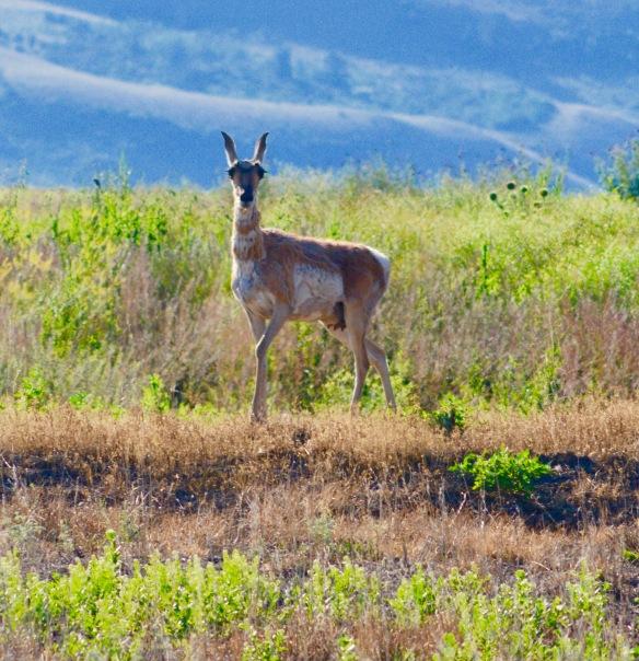 Antelope_close_3
